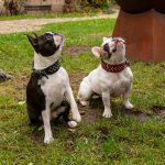 Portrait de 2 chiens à domicile - Bouledogue francais