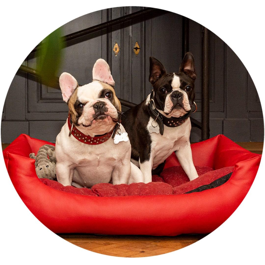 Bulle photo de portrait de 2 chiens Bouledogue Français