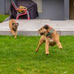 Photo de 2 chiens jouant ensemble